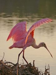 Fort Myers Beach condo photo - A spoonbill at dawn.