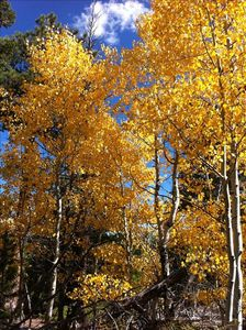 nearby aspens in the fall