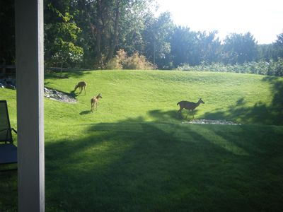 Deer on the front lawns