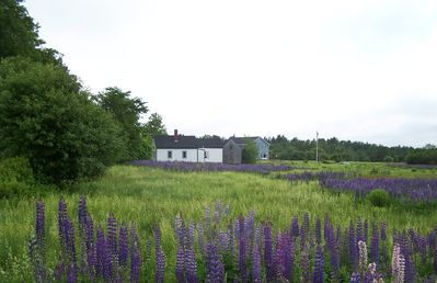 Lamoine farmhouse rental - Lupine field to the north of the farmhouse.