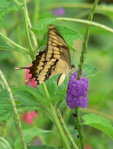 Butterflies and hummingbirds thrive in the Cola-de-lion flower garden by pool