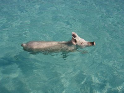 "See our famous ""Swimming Pigs"""