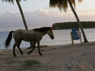 Vieques Island house photo - Free roaming horses are a frequent sight on the beaches and around the island