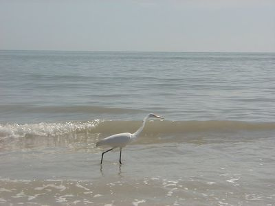 Great Heron looking for breakfast at the beach