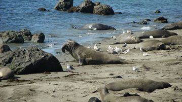 Elephant Seal Attraction