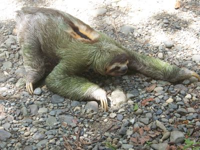 Sloth at Manuel Antonio National Park, just 45 minutes away.
