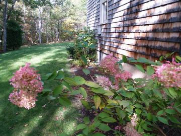Hydrangeas at side of property