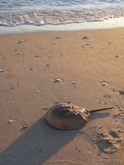 St. Leonard house photo - Horseshoe crab on the beach.