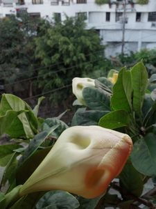 The Copa de Oro flower bud.