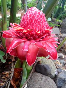 Torch Ginger!