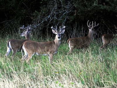 BUCKS IN VELVET late summer 2009