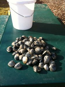 Harvested clams from the Point Judith Pond shoreline from the cottage