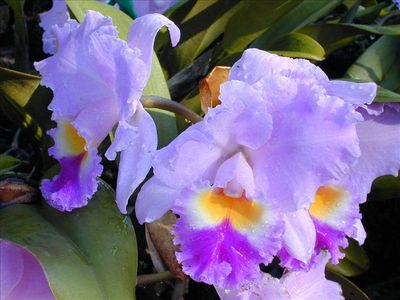 Don't miss our beautiful orchid garden at Kiahuna Plantation.