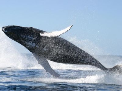 Humpback whales show off at Marino Ballena National Park