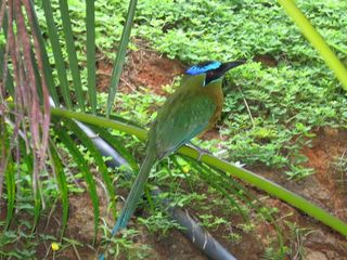 Manuel Antonio villa photo - MotMot bird outside our courtyard