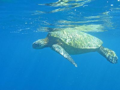 We see sea turtles right off our beach!