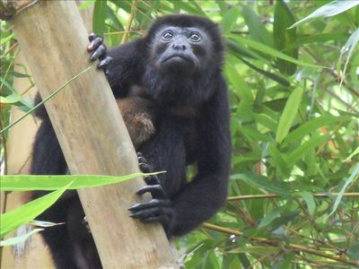 Picture of Howler monkey and infant taken right on the property