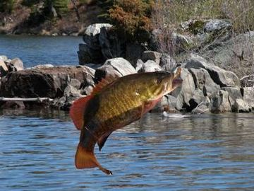 Smallmouth Bass Being Aggressive