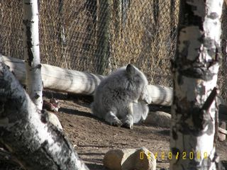 Wolf at local preserve - Westcliffe cabin vacation rental photo