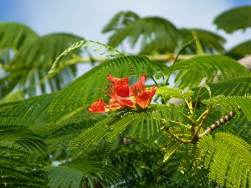 The Flamboyan Tree.... One of Nature's Gifts to Puerto Rico.