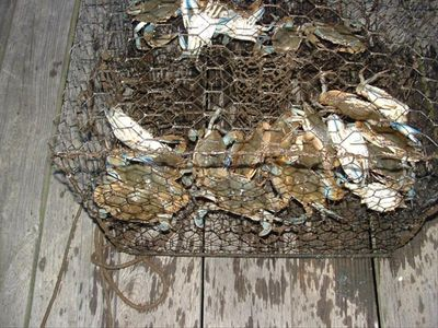Blue claw crabs anyone?  Caught right in front of cottage!