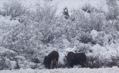 Moose! This Picture was Taken by the Owner on the First Snow of the Season.