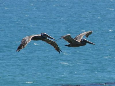 Pelicans at Arch Rock