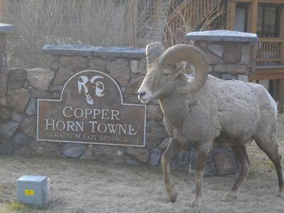 Welcoming Bighorn Sheep!