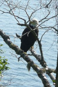 bald eagle photo from deck