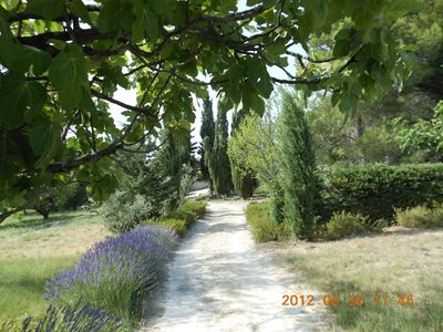 Part of the Mas' grounds - apricots, figs, olives, lavender !