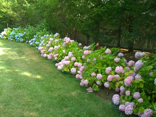 Hampton Bays house photo - Hydrangea heaven