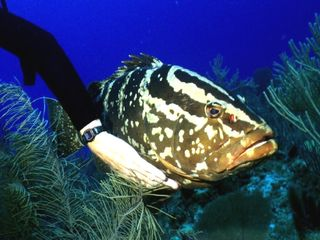 -Groupers enjoy their belly's rubbed at Bloody Bay Wall, Little Cayman-