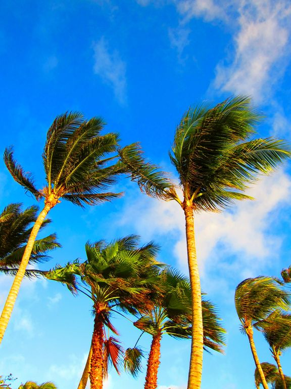 Palm trees swaying in arubas breeze