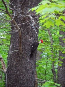 Woodpecker that frequent the property