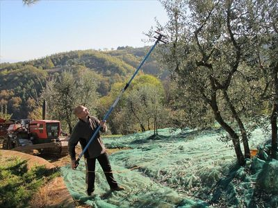 Cavriglia barn rental - Autumn Olive Harvest
