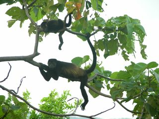 Nosara house photo - Howler Monkeys....visiting near the Patio Deck