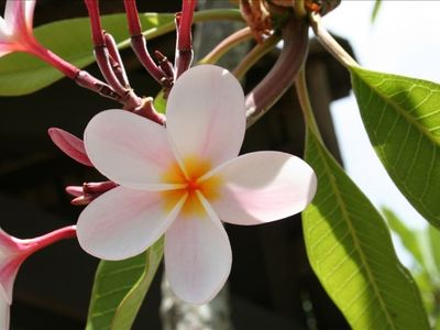 Plumeria on our tree