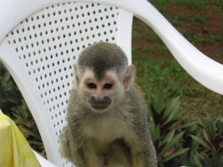 Manuel Antonio villa photo - Look who came for dinner!