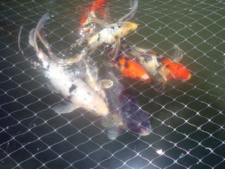 Mission Valley house photo - The koi fish are always happy to see you. :)