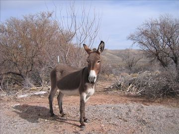 Vegas is more than the 'Strip'. A wild burro near Spring Mountain Ranch.