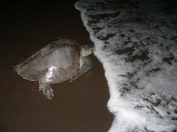 Experience the sea turtle nest eggs just 100 mts from your bedroom