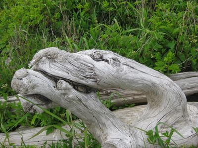 What do you see in this drift wood from the Fundy Shore?