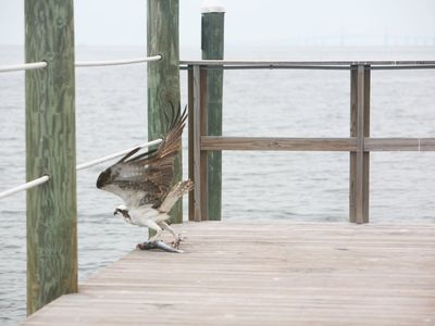 An osprey enjoying the fishing pier behind the yacht club.