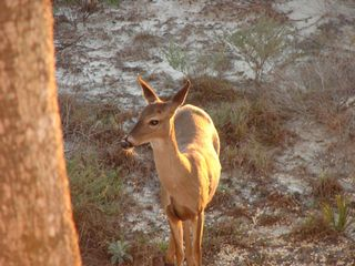 Santa Rosa Beach house photo - A deer grazing behind the house on the Preserve