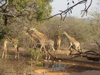 Giraffe at the waterhole