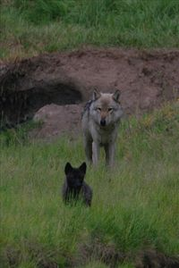 View wolves regularly in the Lamar Valley just 20 minutes from the house.