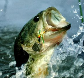 Lake Anna house rental - Largemouth Bass, Crappie and Stripers to just name a few visitors to the Lake...