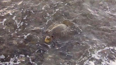 The turtles come right up to the seawall when the tide is in.