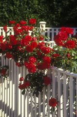 Edgartown cottage photo - Edgartown spring roses