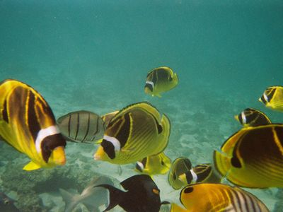 Racoon Butterfly Fish - only feet away